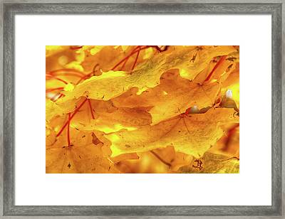 Framed Print featuring the photograph Maple Blaze by Marie Leslie