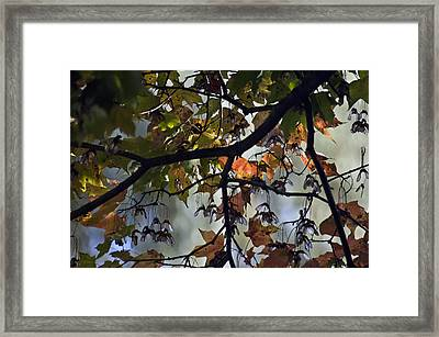 Maple Color Framed Print by Ross Powell