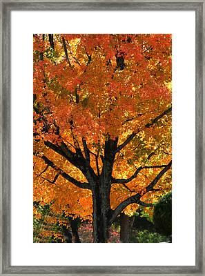 Maple Hill Maple In Autumn Framed Print