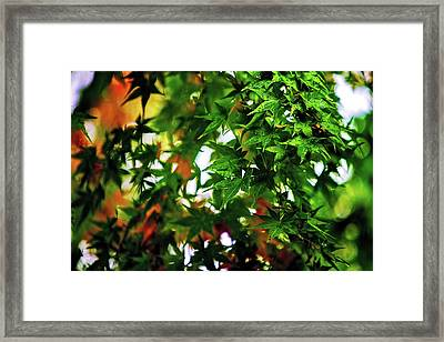 Maple In The Mist Framed Print by Mark Lucey