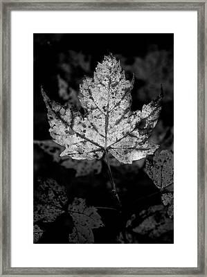 Maple Leaf In Black And White Framed Print