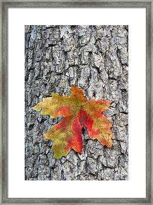 Maple Leaf On A Maple Tree Framed Print by Andreas Freund