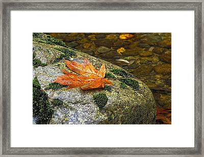 Maple Leaf On A Rock Framed Print