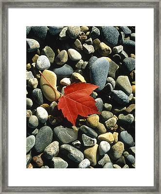 Maple Leaf On Pebbles Framed Print by Panoramic Images