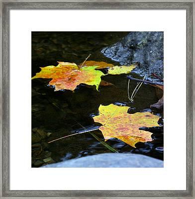 Maple Leaf Framed Print by Sean Shaw