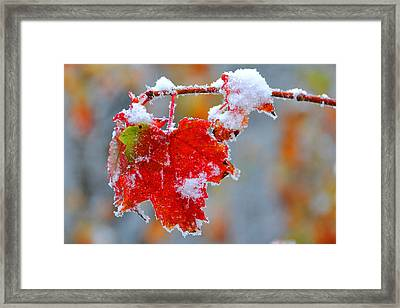 Maple Leaf With Snow Framed Print by Alan Lenk