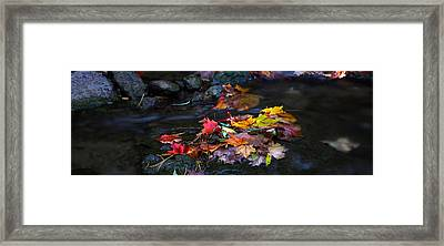 Maple Leaves-0001 Framed Print by Sean Shaw