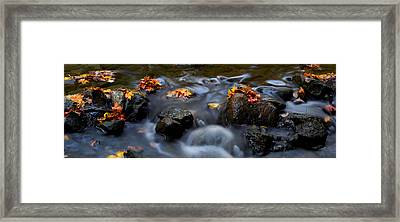 Maple Leaves-0003 Framed Print by Sean Shaw