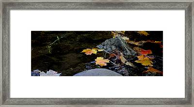 Maple Leaves-0006 Framed Print by Sean Shaw