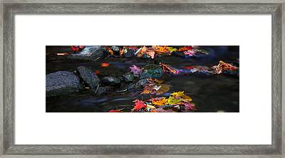 Maple Leaves-0009 Framed Print by Sean Shaw
