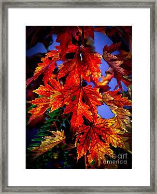 Maple Leaves Framed Print by Robert Bales