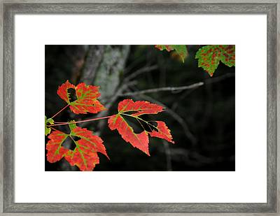 Maple Leaves Framed Print by Steven Scott