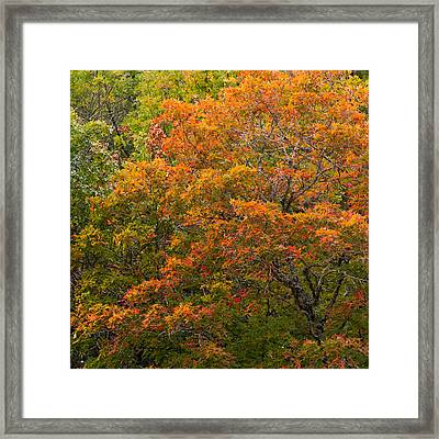 Lost Maples Maple On The Cliff Framed Print by Mike Brymer