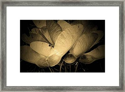 Maple Seeds 2011 Framed Print
