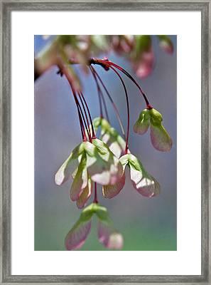 Maple Seeds Framed Print by Randy Muir