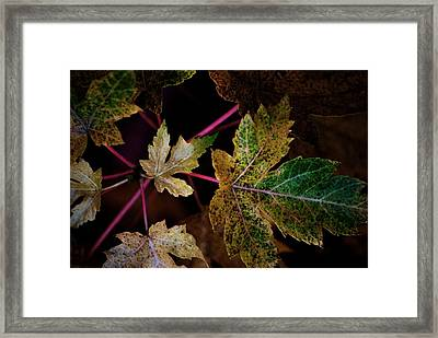 Maple Spatter Framed Print by Trudi Southerland