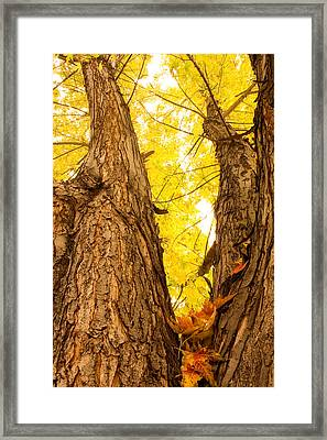 Maple Tree 3 Framed Print by James BO  Insogna