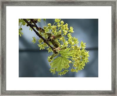 Maple Tree Flowers 2 - Framed Print