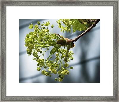 Maple Tree Flowers - Framed Print