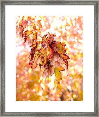Maple Tree In Autumn Framed Print