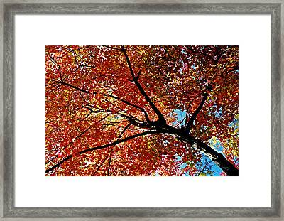 Maple Tree In Autumn Glow Framed Print by Juergen Roth