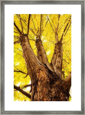 Maple Tree Portrait 2 Framed Print by James BO  Insogna