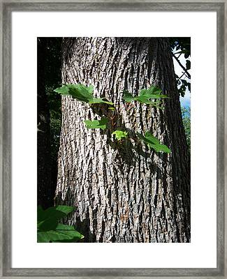 Maple Trunk Framed Print by Ken Day