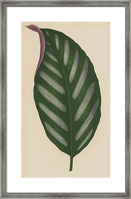 Maranta Porteana Framed Print by English School