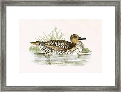 Marbled Duck Framed Print by English School