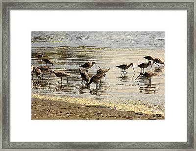 Marbled Godwit Birds At Sunset Framed Print
