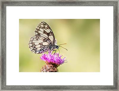 Marbled White Butterfly Framed Print by Ian Hufton