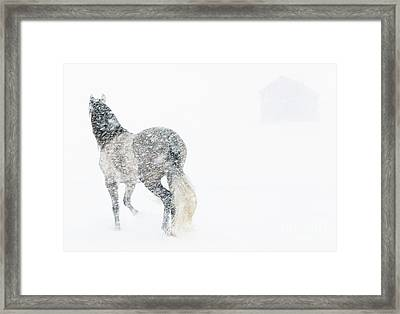 Mare In A Blizzard II Framed Print by Carol Walker