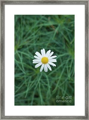Marguerite Chelsea Girl Flower Framed Print