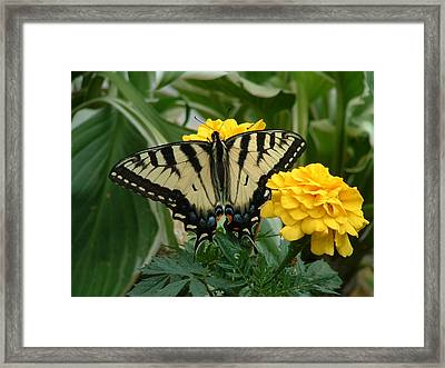 Marigold And Butterfly Framed Print by Emerald GreenForest