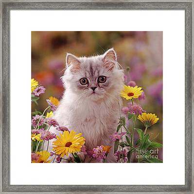 Marigold Chinchilla Framed Print