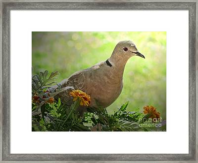 Framed Print featuring the photograph Marigold Dove by Debbie Portwood