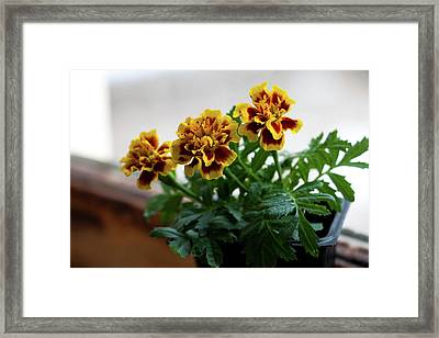 Marigold In Winter Framed Print by Jeff Severson