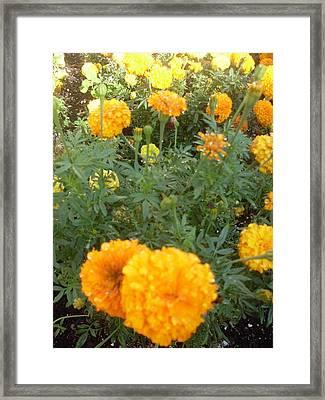 Marigold Light Framed Print by Warren Thompson