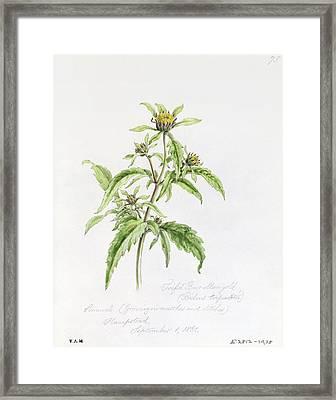 Marigold Framed Print by WJ Linton
