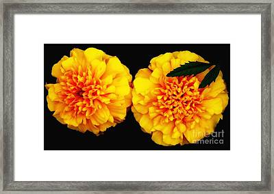 Marigolds With Oil Painting Effect Framed Print by Rose Santuci-Sofranko