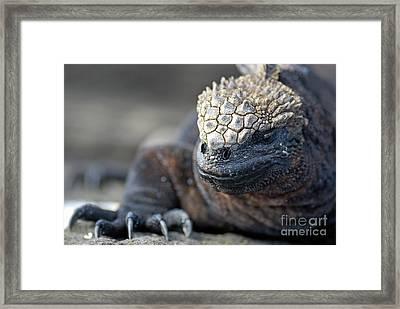 Marine Iguana Framed Print by Sami Sarkis