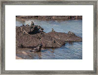 Marine Iguanas And Sealion Pup At Punta Espinoza Fernandina Island Galapagos Islands Framed Print