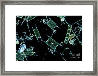 Marine Phytoplankton Framed Print