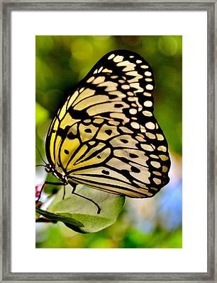 Mariposa Butterfly Framed Print