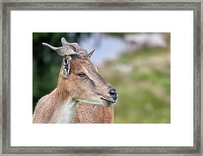 Markhor Framed Print