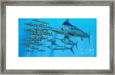 Marlin After A Fish School Framed Print by Corey Ford