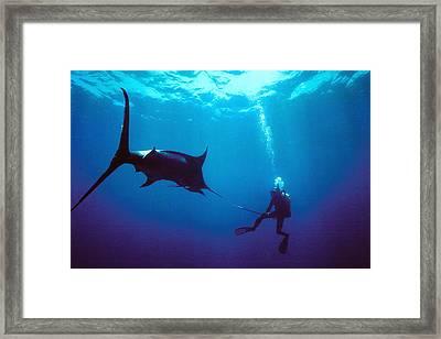 Marlin Attack Framed Print by Derek Berwin