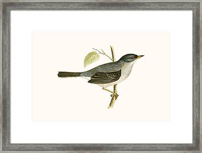 Marmora's Warbler Framed Print by English School