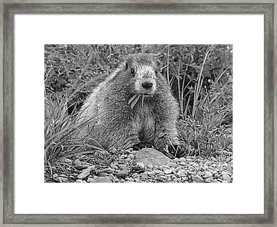 Marmot Eating Salad Bw Framed Print by Marv Vandehey