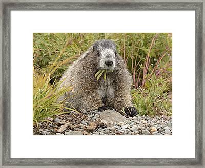 Marmot Eating Salad Framed Print by Marv Vandehey